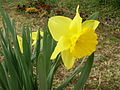 Yellow Narcissus.JPG