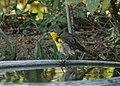 Yellow breasted chat in bird bath (37069111095).jpg