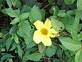 Yellow flowers in Goa, India 2.jpg