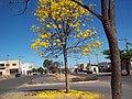 Ypê Amarelo - panoramio.jpg