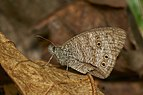 Ypthima baldus-Thekkady-2016-12-03-001.jpg