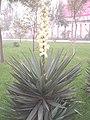 YuccaRecurvifolia.jpg