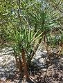 Yucca aloifolia - Marie Selby Botanical Gardens - Sarasota, Florida - DSC01598.jpg