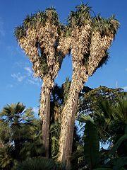 File yucca australis 11 21 2005 jardin olbius riquier for Jardin olbius riquier