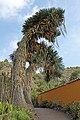 Yucca filifera 01.JPG