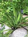 Yucca rupicola.jpg