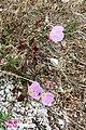 Zakynthos flora (Xigia) (34721956120).jpg