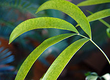 Zamia Roezlii 550 DSC 0158 - young plant leave.jpg