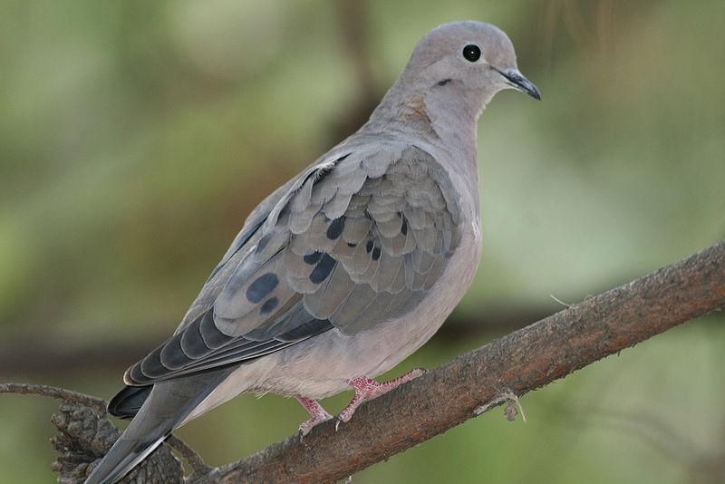 Ficheiro:Zenaida auriculata (Eared Dove).jpg