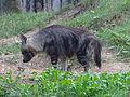 Zoo Praha, hyena čabraková.jpg