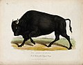 Zoological Society of London; an American bison. Coloured et Wellcome V0023100.jpg