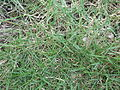 Zoysia tenuifolia-yercaud-salem-India.JPG