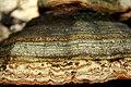 Zunderschwamm (Fomes fomentarius) (8-8) (16242051048).jpg