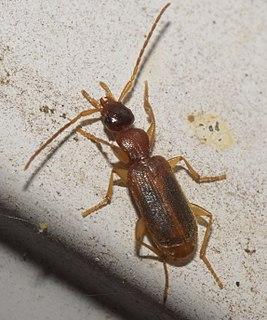 <i>Zuphium</i> Genus of beetles