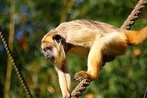 Black howler - Female at the Apenheul Primate Park