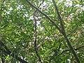Zygia longifolia.JPG