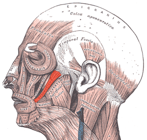 Facial electromyography - Zygomaticus major muscle (associated with smiling)