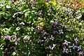 'Clematis viticella' Minuet in Walled Garden of Parham House West Sussex England.jpg