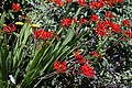 'Crocosmia × crocosmiiflora' Montbretia in Walled Garden of Parham House, West Sussex, England.jpg