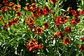 'Rudbeckia' cultivar in Walled Garden of Parham House, West Sussex, England.jpg