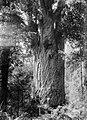 'Te Matua Ngahere' Kauri tree (AM 82341-1).jpg
