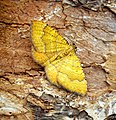 (1742) Yellow Shell (Camptogramma bilineata) (27444557083).jpg