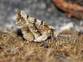 (1917) Early Thorn (Selenia dentaria) (3399236075).jpg