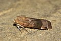 (2110) Broad-bordered Yellow Underwing (Noctua fimbriata) (3694918349).jpg