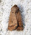 (2382) The Rustic (Hoplodrina blanda) - Flickr - Bennyboymothman (1).jpg