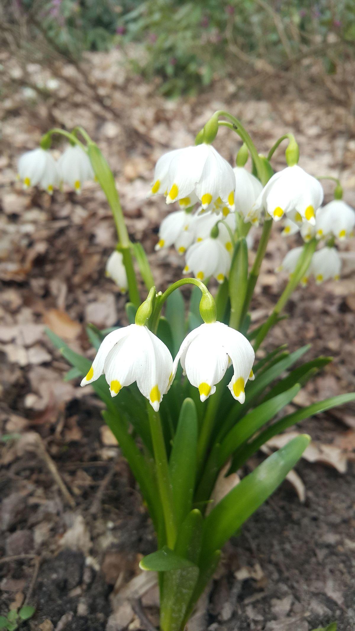 Chybienie Dzban Wiosenne Kwiaty Pod Ochrona Maurapaparo Asd It