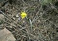Ілірійський, тюльпан бузький у каменистому степу.jpg