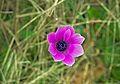 Ветреница павлинья - Anemone hortensis var. pavonina - Broad Leaved Anemone - Червена съсънка (Павонска съсънка) - Stern-Anemone (25370406441).jpg