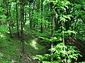 Грабовий ліс у Канівському заповіднику.jpg