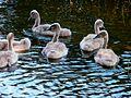 Детёныши лебедей - Vadik 01 - Panoramio.jpg