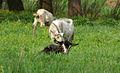 Свирепая коза (4343382417).jpg