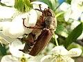 Хрущ західний травневий Melolontha melolontha.jpg