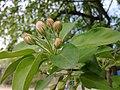 Цветок груши обыкновенной (Flower of Purus communis L.).jpg