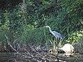 Чапля на березі річки Нивка у природному комплексі Біличанський ліс.jpg