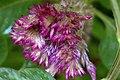 گل تاج خروس-Unidentified Amaranthus in iran 13.jpg