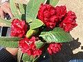 लाली गुराँस फूल Rododrendron 01.jpg