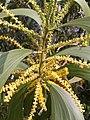 கத்திக் கருவேல் 1(Acacia auriculiformis).jpg