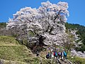 仏隆寺の「千年桜」 宇陀市榛原赤埴 Sen-nen-zakura 2013.4.13 - panoramio.jpg