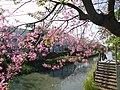 北斗河濱公園 美人樹 Floss-silk Tree at Beidou Riverside Park - panoramio.jpg