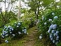 吉野山にて 七曲りのあじさい Hydrangea in Yoshinoyama 2011.7.02 - panoramio (1).jpg