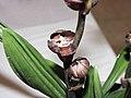 報歲紅一品 Cymbidium sinense 'Red First-Class' -香港沙田國蘭展 Shatin Orchid Show, Hong Kong- (12248135044).jpg