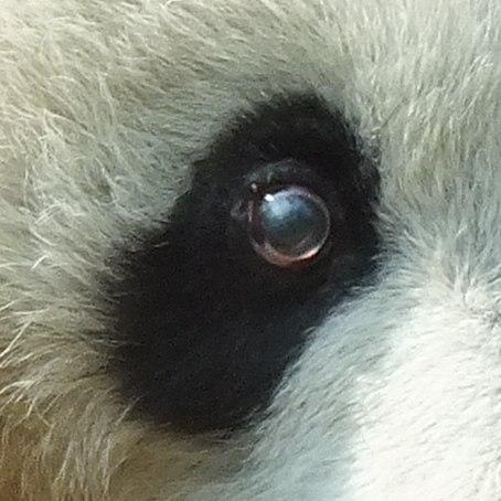 大熊貓(眼睛)