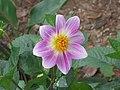 小麗花 Dahlia pinnata -香港維多利亞公園 Victoria Park, Hong Kong- (9198131875).jpg