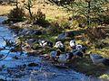 白马鸡 - White Eared Pheasants - 2012.10 - panoramio.jpg