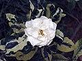 花葉梔子花 Gardenia jasminoides v variegata -香港大埔海濱公園 Taipo Waterfront Park, Hong Kong- (9237446993).jpg