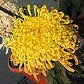 菊花-唐宇白飛 Chrysanthemum morifolium -中山小欖菊花會 Xiaolan Chrysanthemum Show, China- (11961173175).jpg